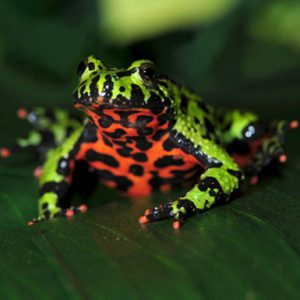 oriental firebellied toad on leaf, china green frog