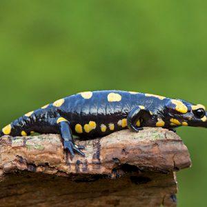 Overige amfibieën & Reptielen